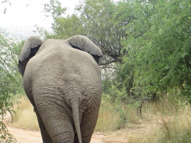 This-Giant-Elephant-in-Pilanesberg-national-Park-624x468