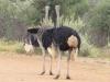 Ostriches-in-Pilanesberg-National-Park-624x468
